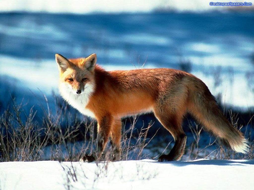 http://foxypaws.narod.ru/vixen/newphotos/14.jpg